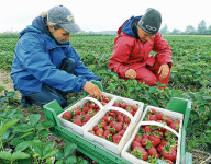 Oferta pracy w Norwegii bez języka na farmie przy zbiorach malin, truskawek