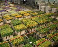 Ogrodnictwo praca w Holandii przy kwiatach w szklarni Amsterdam