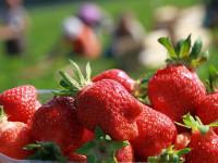 Sezonowa praca Anglia przy zbiorach owoców bez języka na wakacje 2014 Ashford