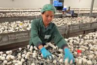 Praca w Holandii przy zbiorach pieczarek bez znajomości języka dla Polaków