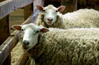 Dania praca sezonowa w rolnictwie na farmie owiec bez języka Arre