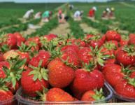 Dam sezonową pracę w Niemczech zbiory truskawek bez znajomości języka