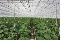 Niemcy praca przy zbiorach warzyw w szklarni bez języka Cottbus od zaraz 2014