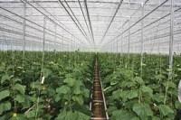 Holandia praca bez języka w szklarni przy zbiorach ogórków od zaraz Venlo