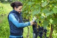 Oferta sezonowej pracy w Niemczech przy zbiorach winogron bez języka Koblencja
