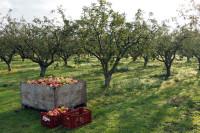 Oferta sezonowej pracy w Niemczech przy zbiorach jabłek bez języka Cottbus