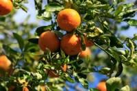 Sezonowa praca w Hiszpanii przy zbiorach owoców bez znajomości języka