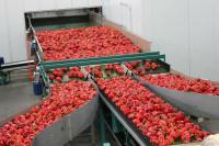 Szwecja praca na produkcji – sortowanie, pakowanie warzyw bez języka Göteborg
