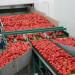 sortowanie-warzyw-papryki2
