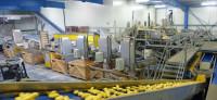 Dania praca na produkcji przy sortowaniu ziemniaków bez języka Ribe