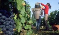 Niemcy praca przy zbiorach winogron bez znajomości języka od zaraz Neuwied