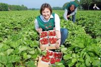 Praca Anglia w Sudbury 2015 bez języka przy zbiorach malin, truskawek