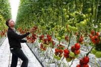 Zbiory pomidorów Holandia praca w Drunen bez znajomości języka holenderskiego