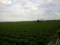 Niemcy praca bez języka przy zbiorach warzyw Nadrenia-Westfalia 2015