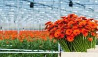 Oferta pracy w Holandii bez języka w ogrodnictwie przy kwiatach Rotterdam
