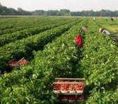 Bez języka sezonowa praca Szwecja na wakacje przy zbiorach truskawek Tranås