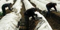 Bez języka sezonowa praca Holandia w Limburgii przy zbiorach szparagów