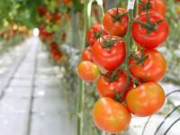 Bez języka Holandia praca od zaraz w Hadze przy pomidorach w ogrodnictwie
