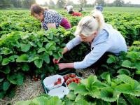 Dam sezonową pracę w Niemczech dla kobiet przy zbiorach truskawek
