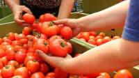Oferta pracy w Niemczech bez języka przy zbiorach warzyw, pomidorów Dortmund