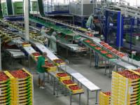 Od zaraz dla brygadzisty Anglia praca w Kent przy pakowaniu owoców