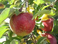 Dam pracę w Norwegii przy zbiorach owoców z sadu bez języka Magnor