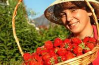 Praca Szwecja przy zbiorach truskawek z pola Falun bez znajomości języka