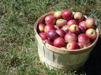 Praca Anglia w Faversham bez języka przy zbiorach jabłek od zaraz