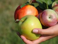 Bez znajomości języka Anglia praca sezonowa przy zbiorach jabłek i gruszek