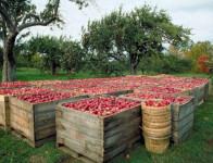 Bez znajomości języka praca w Niemczech przy zbiorach jabłek Rostock