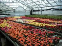Praca Holandia w ogrodnictwie przy kwiatach bez języka Rijsenhout