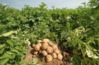 Sezonowa praca w Anglii przy zbiorach ziemniaków bez języka Swaffham