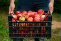 Bez znajomości języka sezonowa praca Holandia przy zbiorach jabłek Rilland