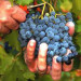 zbiory-winogron-winobranie-2014-2i