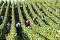 Oferta sezonowej pracy w Niemczech zbiory winogron bez języka Koblencja