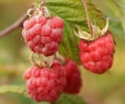 Dam sezonową pracę w Anglii zbiory truskawek i malin bez języka od zaraz Kent