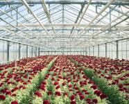 Holandia praca w ogrodnictwie – szklarnia z kwiatami ok. Rotterdamu