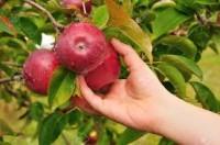 Dam pracę sezonową w Anglii bez języka zbiory owoców i warzyw Hereford
