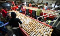 Od zaraz ogłoszenie fizycznej pracy w Danii bez języka Sunds sortowanie ziemniaków