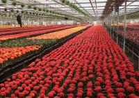 Praca w Holandii przy chryzantemach, kwiatach w ogrodnictwie ok Dronten