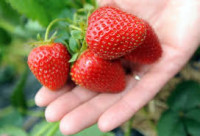 Od czerwca Niemcy praca sezonowa przy zbiorach truskawek bez języka Vechta