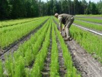 Holandia praca w leśnictwie jako pracownik szkółki drzew i krzewów iglastych