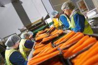 Praca w Holandii od zaraz pakowanie i sortowanie marchwi, Baarlo