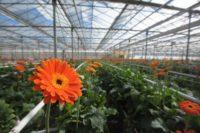 Niemcy praca sezonowa od zaraz w ogrodnictwie bez języka przy kwiatach Straelen