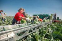 Anglia praca sezonowa w polu od zaraz przy zbiorach warzyw Lincolnshire