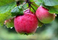 Sezonowa praca w Niemczech od zaraz zbiory jabłek bez znajomości języka Stuttgart