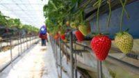 Oferta sezonowej pracy w Danii bez języka przy zbiorach truskawek od zaraz Rosklide