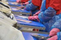 Dania praca na produkcji bez znajomości języka przy rybach 2018 Skagen