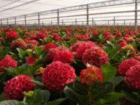Holandia praca w ogrodnictwie 2018 – pielęgnacja kwiatów szklarniowych