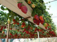 Oferta sezonowej pracy w Holandii – zbiór truskawek szklarniowych wiszących